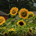 Sunflowers And Red Barn 2 by Louise Reeves