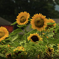 Sunflowers And Red Barn 3 by Louise Reeves