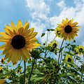 Sunflowers And The Bee by Nancy Comley