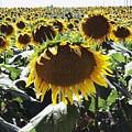 Sunflowers by Anita Streich