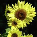 Sunflowers Art Yellow Sun Flowers Giclee Prints Baslee Troutman  by Baslee Troutman