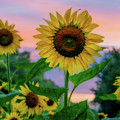 Sunflowers At Sunset by Dave Lyons
