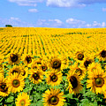 Sunflowers by Bill Bachmann and Photo Researchers