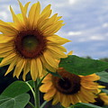 Sunflowers Close Up by Sally Weigand