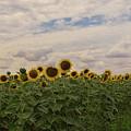 Sunflowers by Elvira Ladocki