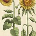 Sunflowers Illustration From Florilegium by Emanuel Sweert