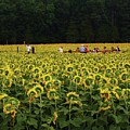 Sunflowers Everywhere by John Scates