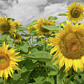 Sunflowers I by Dylan Punke