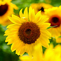 Sunflowers I by Greg Fortier