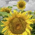 Sunflowers II by Dylan Punke