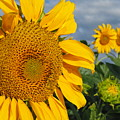 Sunflowers by James Peterson