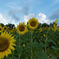 Sunflowers by Jay Anne Boza