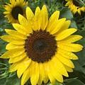 Sunflowers by Jeannie Rhode