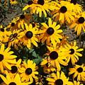 Sunflowers by Jo Dawkins