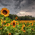 Sunflowers by Larry Braun
