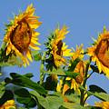 Sunflowers Looking East by Edward Sobuta