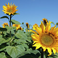 Sunflowers by Neil Overy