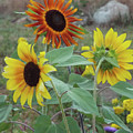 Sunflowers Of August by Carol Corsaro