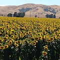 Sunflowers Of Vacaville by Carol Sheli Cantrell