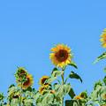 Sunflowers On Blue by Anastasy Yarmolovich
