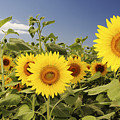 Sunflowers On North Shore by Vince Cavataio - Printscapes