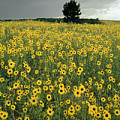 216003-sunflowers On The Great Plains   by Ed  Cooper Photography