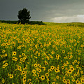 216004-sunflowers On The Great Plains  by Ed  Cooper Photography