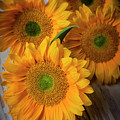 Sunflowers On White Boards by Garry Gay