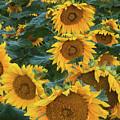 Sunflowers by Steve Gadomski