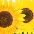 Sunflowers by Tiffany Vest