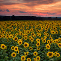 Sunflowers To The Sky by Michael Blanchette