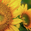 Sunflowers Up Close by Carolyn Derstine