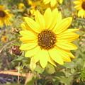 Sunflowers by Utpal Datta