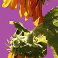 Sunflowers by Viktor Savchenko