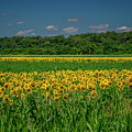 Sunflowers Weldon Spring Mo_dsc9830_16 by Greg Kluempers