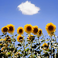 Sunflowers With A Cloud by Mal Bray