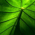Sunglow Green Leaf by Patricia L Davidson