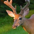 Sunkissed Buck by Christine Dekkers
