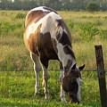 Sunkissed Tobiano by Brandy Woods