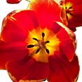 Sunkissed Tulips by Monique Faella