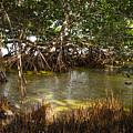 Sunlight In Mangrove Forest by Elena Elisseeva