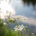 Sunlit Lace by Sara Hudock