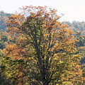 Sunlight On Autumn Foliage by Carolyn Postelwait