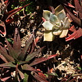 Sunlight On Succulents by Lyle Hatch