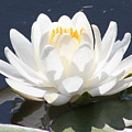 Sunlight On Water Lily by Carol Groenen