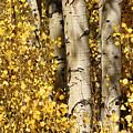 Sunlight Shines On Golden Aspen Leaves by Charles Kogod