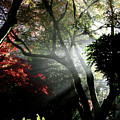 Sunlight Through The Tree In Misty Morning 1. by Andrew Kim