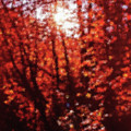 Sunlight Thru Autumn Leaves Abstract by Steve Ohlsen