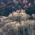 Sunlit Bare Autumn Aspens 1 by Steve Ohlsen