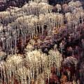 Sunlit Bare Autumn Aspens 2 by Steve Ohlsen